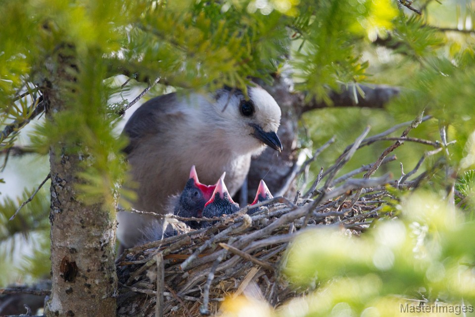 Gray Jay nest Photo by Larry Master