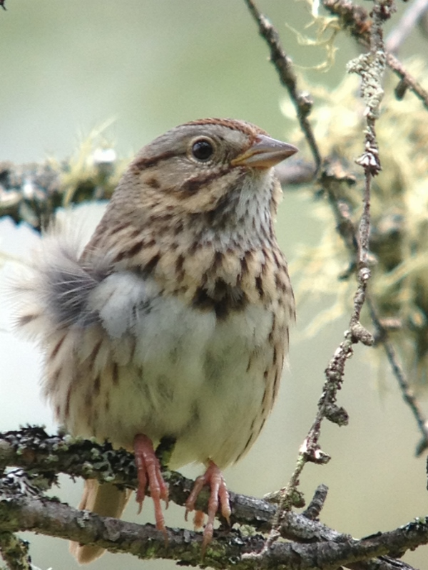 Lincoln's Sparrow at Hitchins Bog