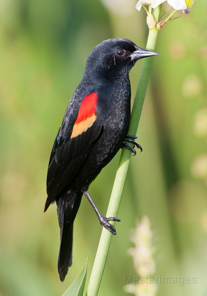 Red-winged Blackbird Photo by Larry Master