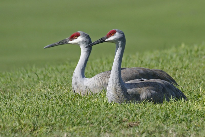 Sandhill Crane pair by Larry Master