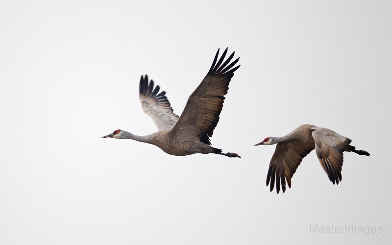 Sandhill Crane pair flying by Larry Master