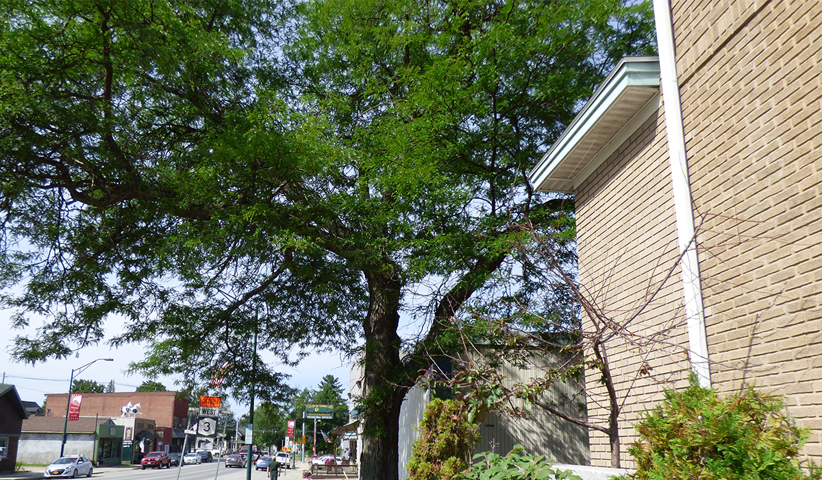 The Locust Tree Gleditsia Triacanthos stands tall next to Community Bank on Park Street in Tupper Lake