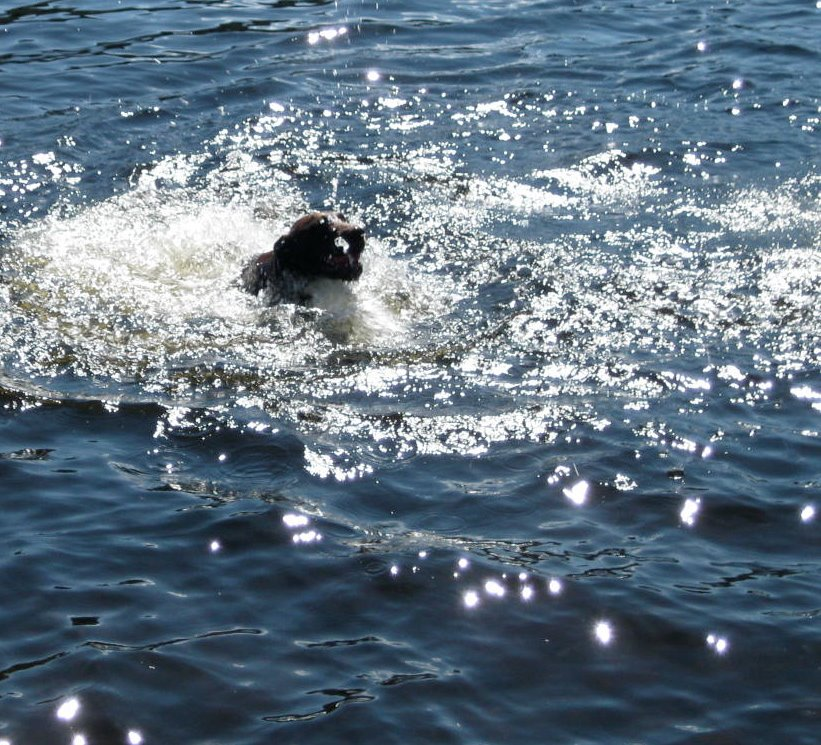 Gilly's first swim in Adirondack waters was not the most graceful, but he got his ball and he got over his fear. With lots of practice behind him, three years later, he is now a smooth, speedy swimmer!