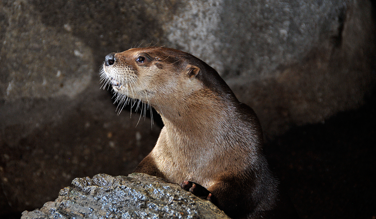 A Wild Center otter poses in the museum's exhibit (Wild Center photo)