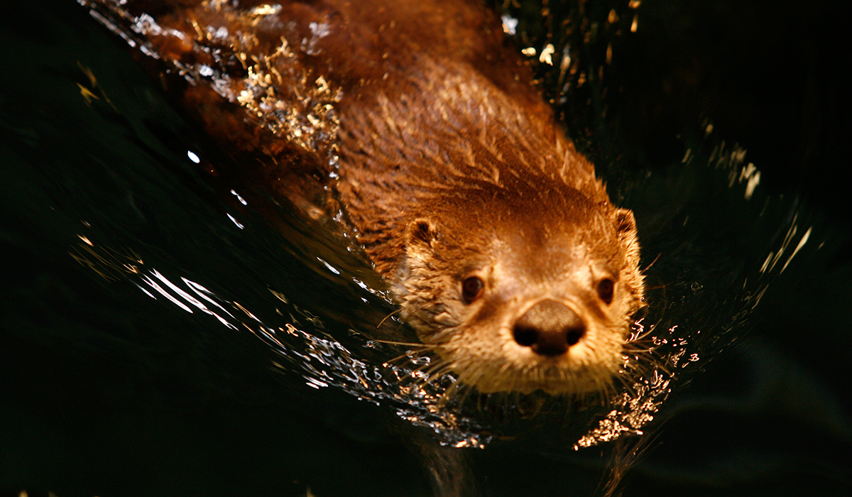 Otter swims in The Wild Center's Otter Tank (Wild Center photo - used with permission)