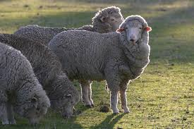 I make merino wool, I'm soft and cuddly, not like that old school stuff