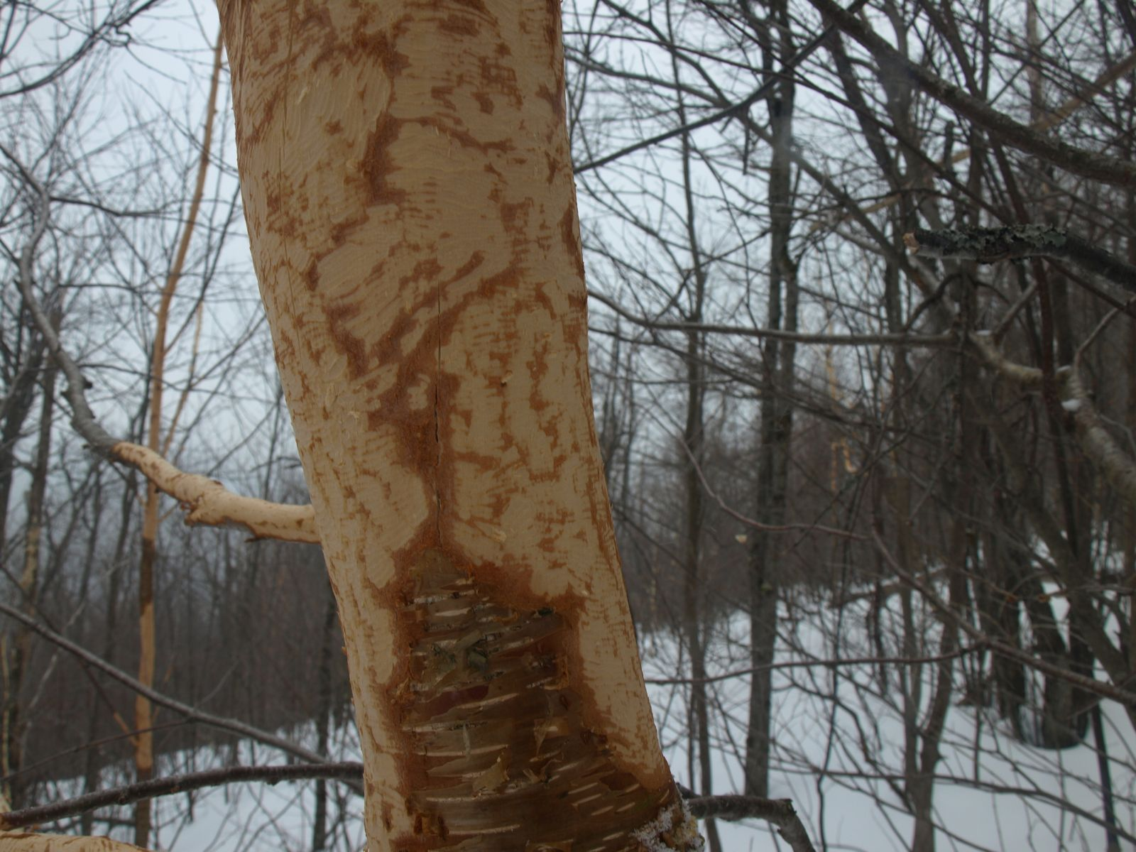 Foraged by porcupines, these trees must feel a bit under dressed