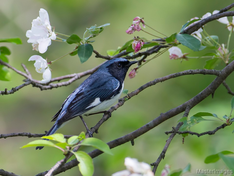Black-throated Blue Warbler by Larry Master
