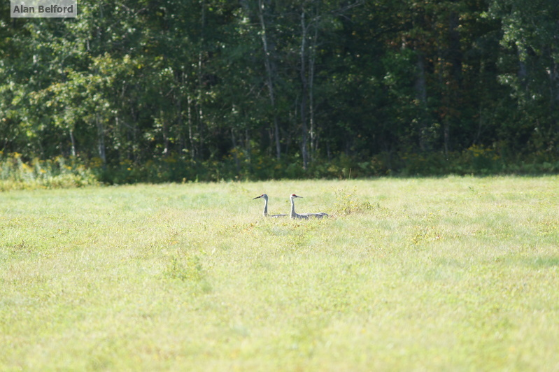 Sandhill Cranes sitting in the field along Stetson Road