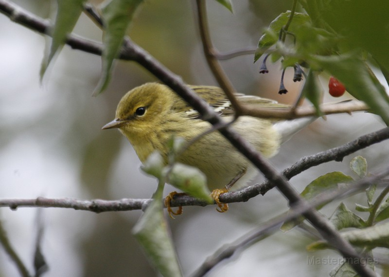 There were a lot of Blackpoll Warblers at Sabattis Bog in the evening. Photo courtesy of www.masterimages.org.