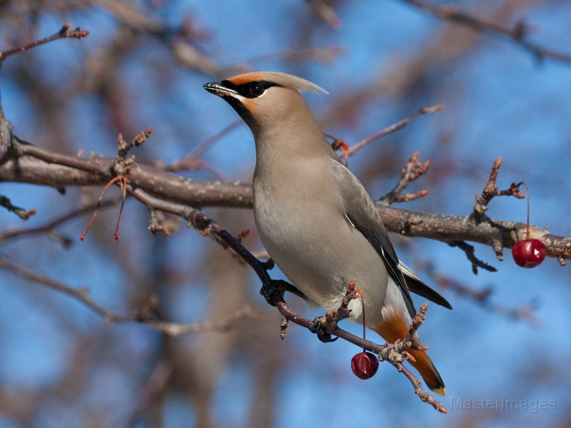 I was excited to find my first Bohemian Waxwings of the season. Photo courtesy of www.masterimages.org.