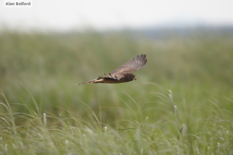 I often find Northern Harriers hunting over Tupper Lake Marsh during the fall.