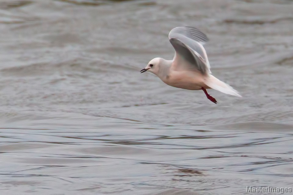 Adult Ross's Gull photo by Larry Master
