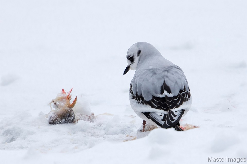 Ross's Gull photo by Larry Master