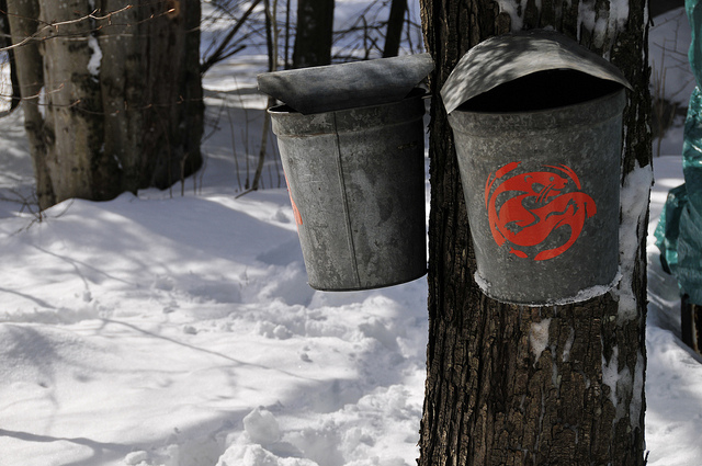 WIld Center maple buckets patiently collecting the sap to be boiled in the sugarhouse.