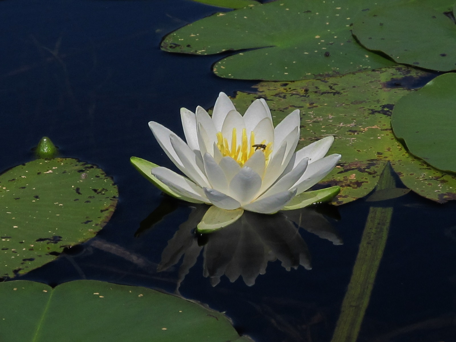 The White Water Lilly