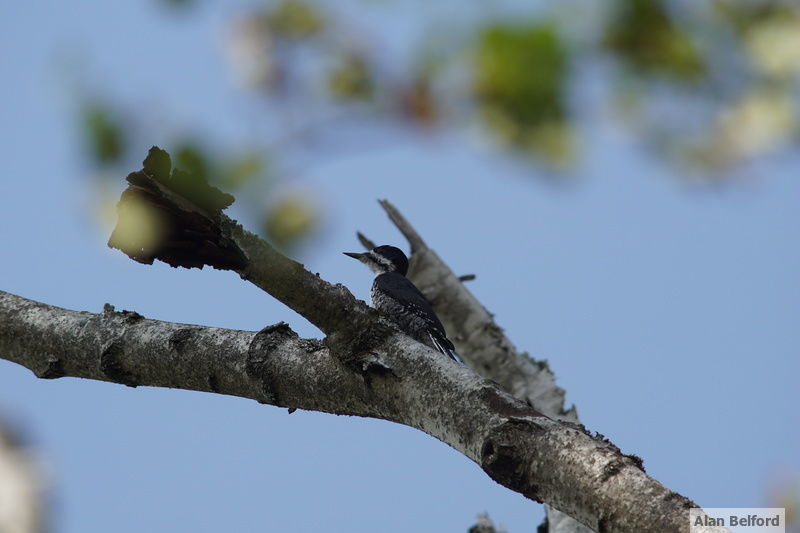 It was nice to find a Black-backed Woodpecker.