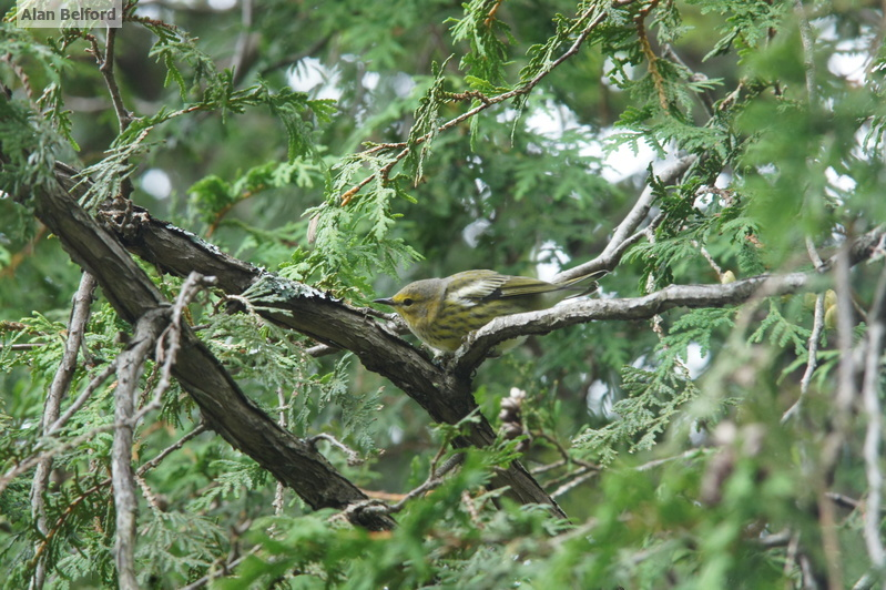 I love seeing Cape May Warblers during migration.