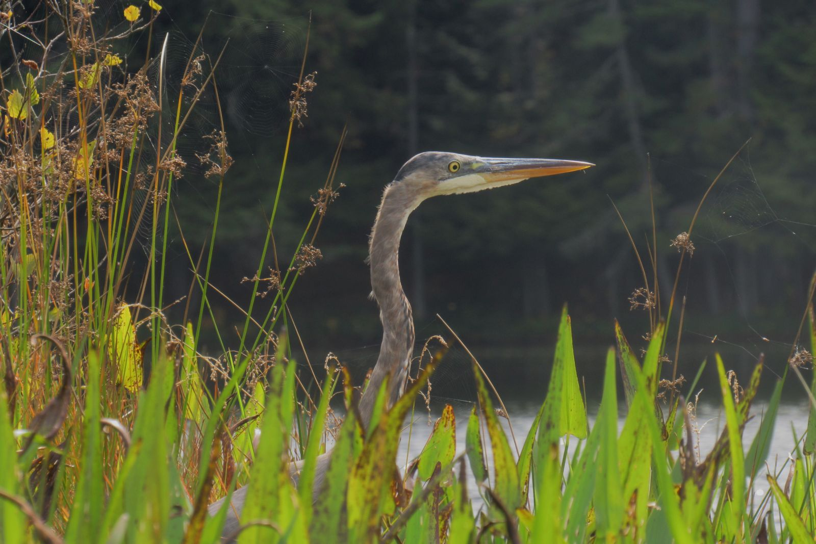 This Blue Heron thought he was hiding!