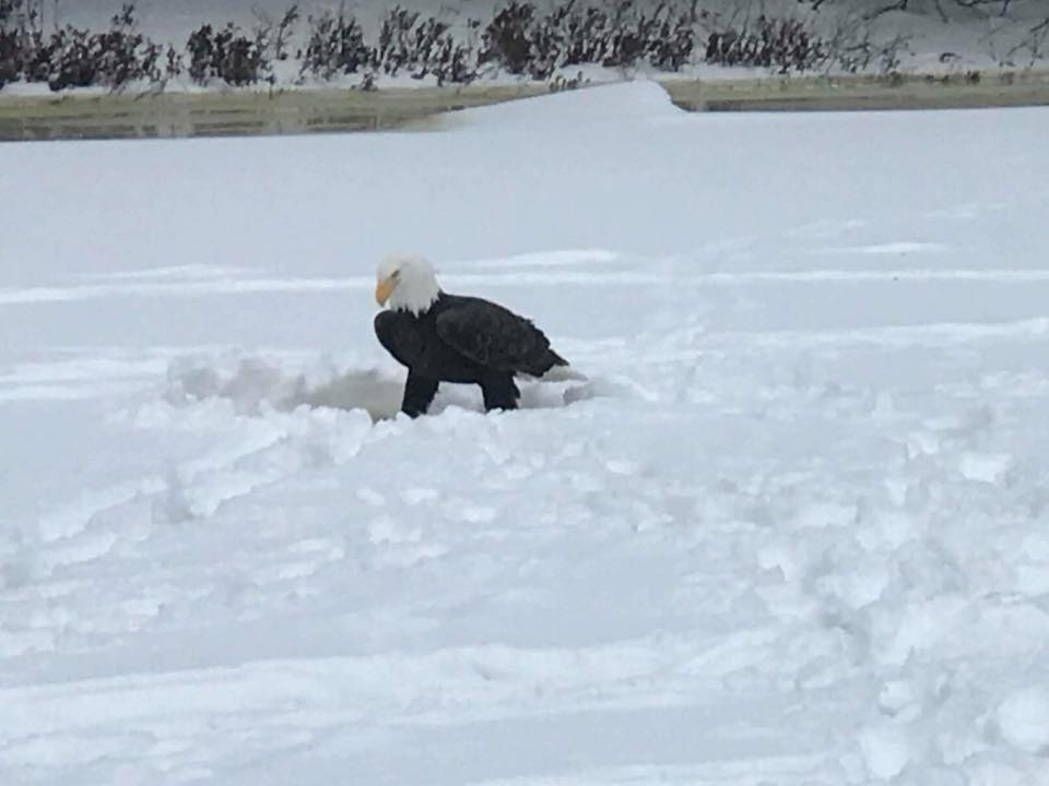 The eagle looking for food