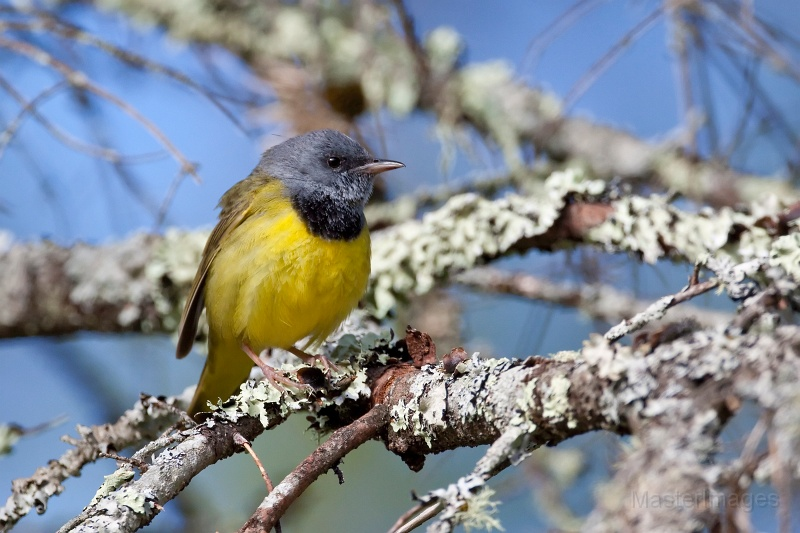 We found a few Mourning Warblers along the road as we drove in toward the bog. Image courtesy of www.masterimages.org.
