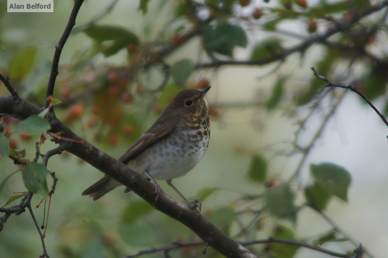 I love the song of Swainson's Thrush — we heard one from the bridge over the South Branch of the Grass River.