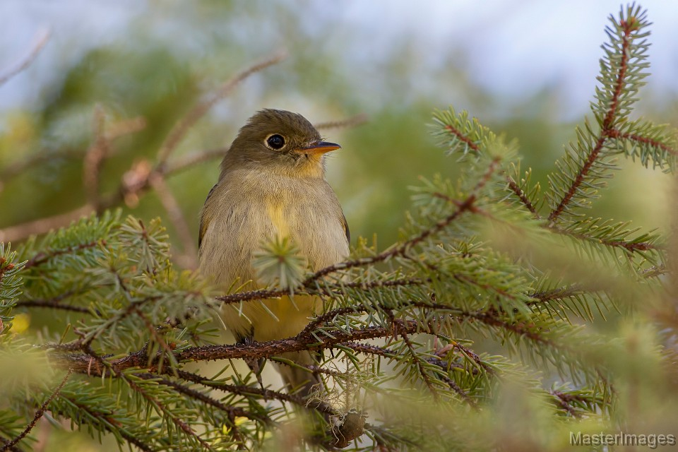 We found Yellow-bellied Flycatchers throughout our hike. Image courtesy of www.masterimages.org.