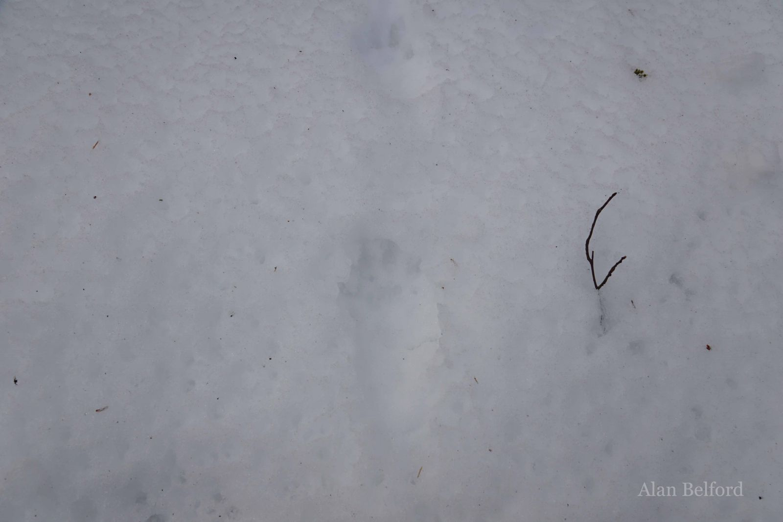 I was excited to find fisher tracks during one of our recent skis.