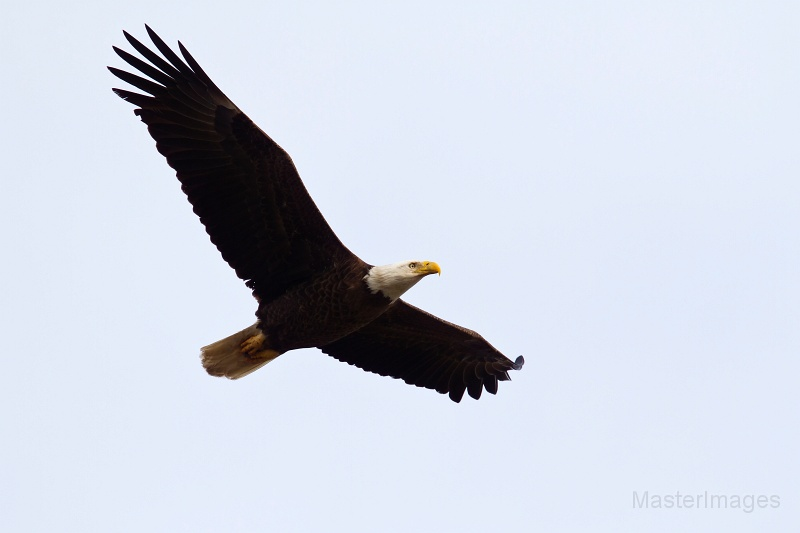 Bald Eagles are often spotted flying over Tupper Lake Marsh. Image courtesy of www.masterimages.org.