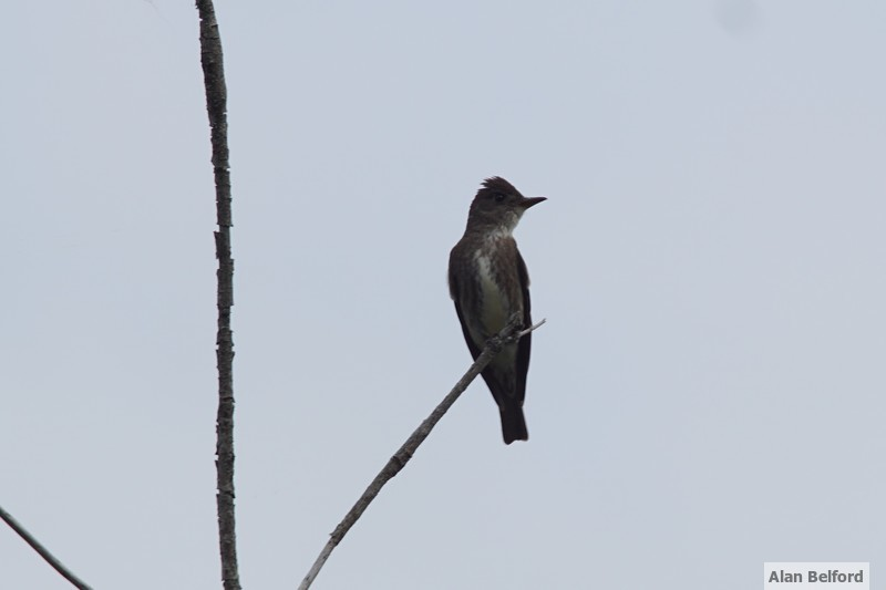 "I listened to an Olive-sided Flycatcher sing ""Quick, three beers!"" for a while."
