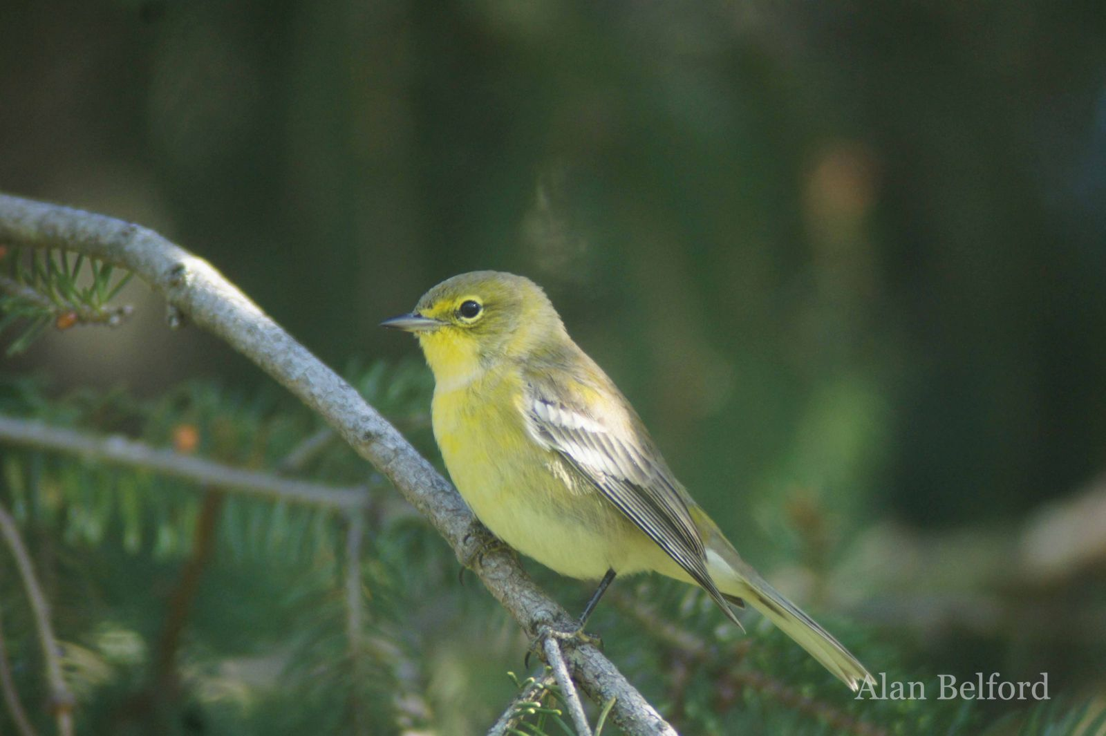 Aptly named, Pine Warblers sang from the white pines which lined the shoreline as I paddled.