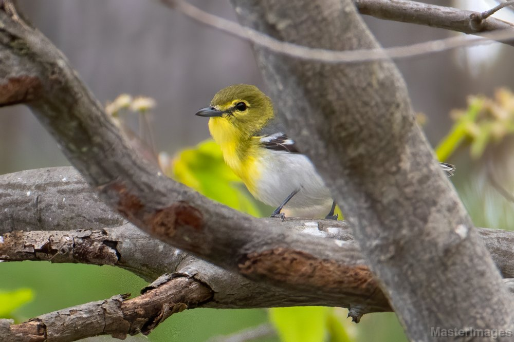 I found a Yellow-throated Vireo toward the northwest end of the road. Image courtesy of MasterImages.org.