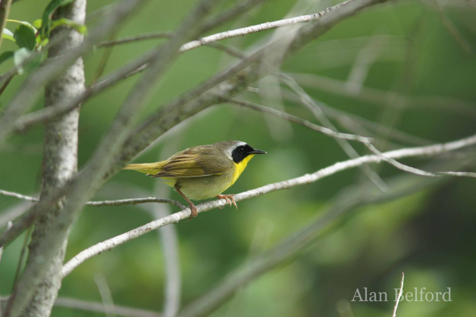 Common Yellowthroats sang from the habitat surrounding the oxbow.