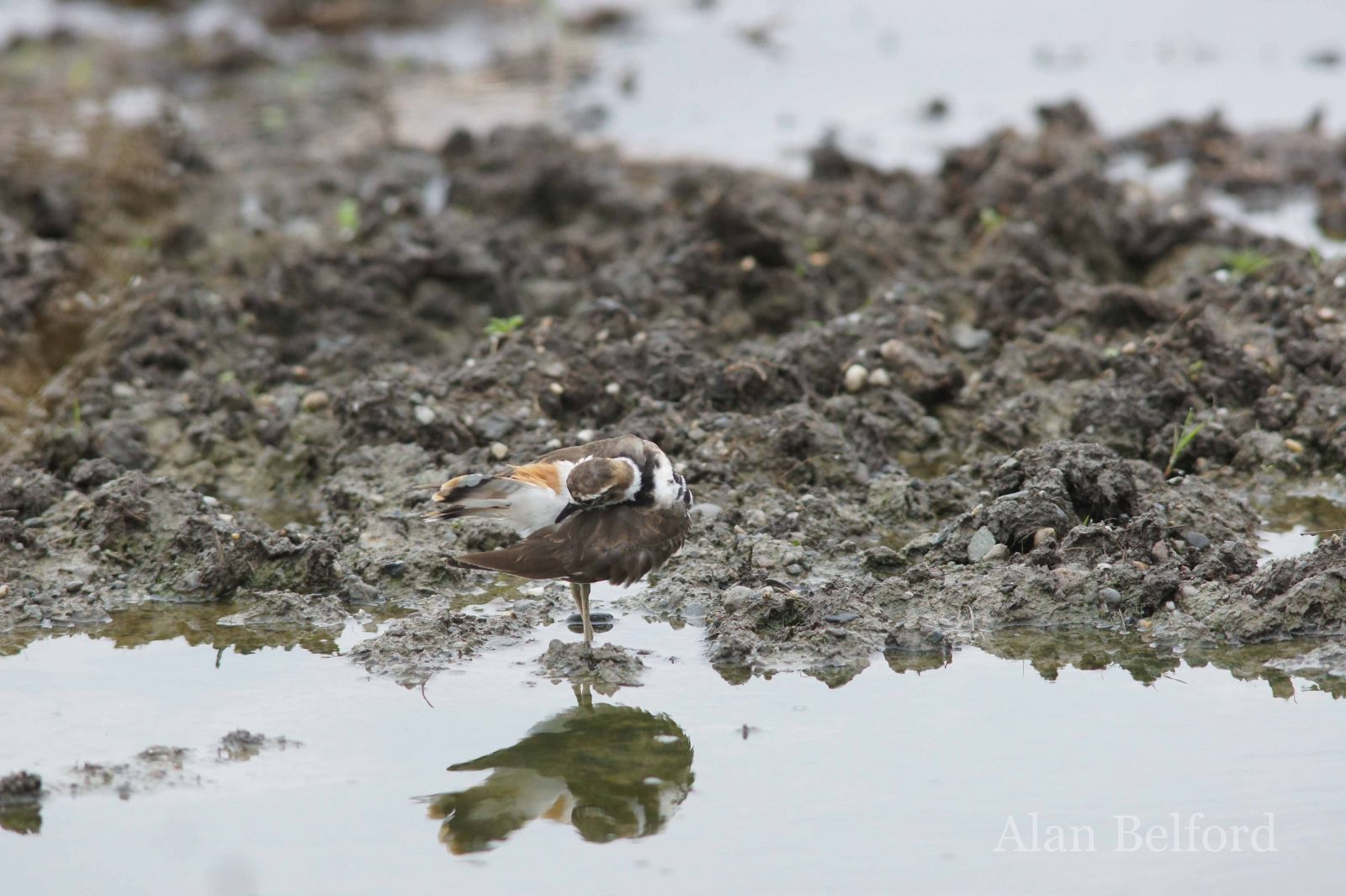 Calling Killdeer greeted me as I arrived at The Wild Center.