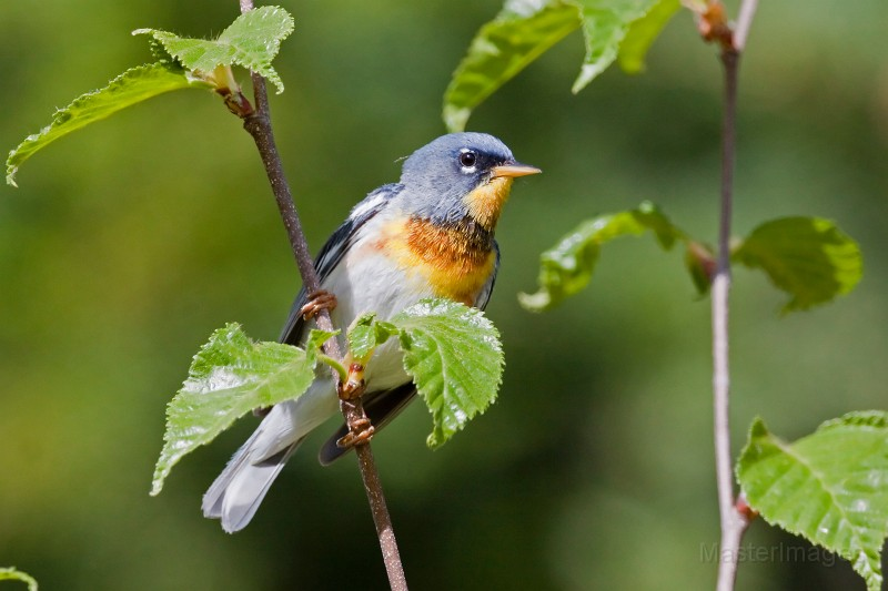 I found a few Northern Parulas during my hike. Image courtesy of www.masterimages.org.