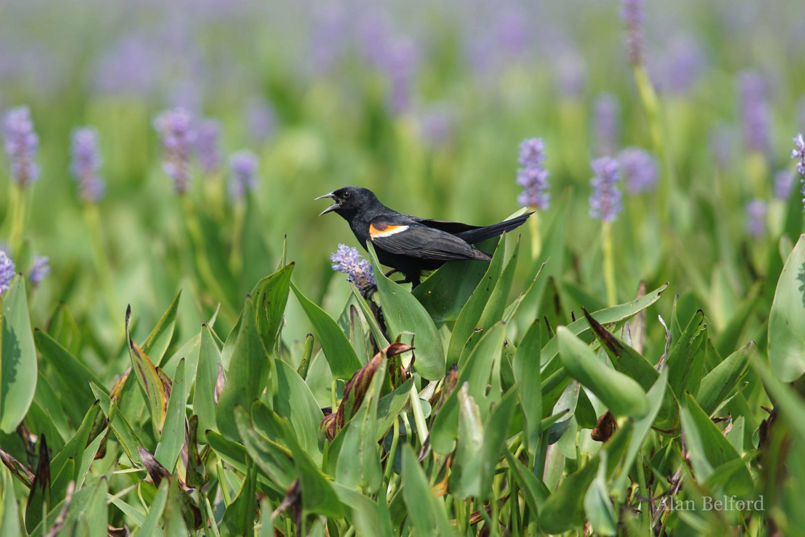 There are always plenty of Red-winged Blackbirds singing and calling from Tupper Lake Marsh during the summer.