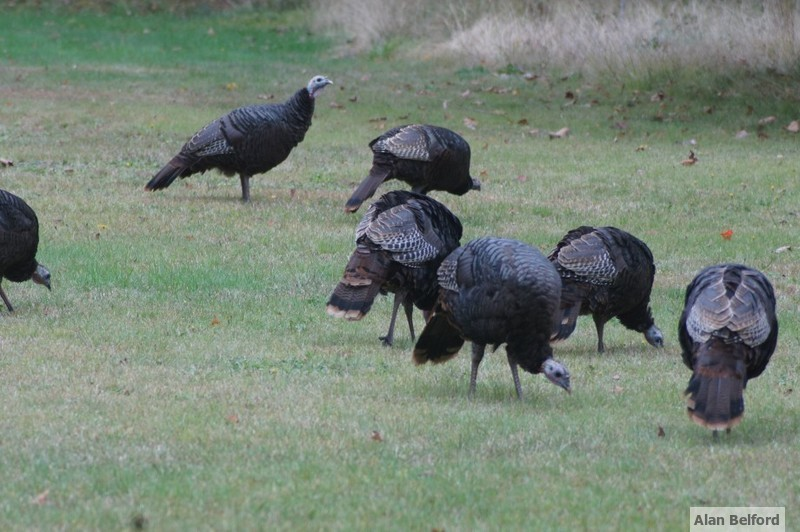 Foraging Wild Turkeys are a common sight throughout the region.