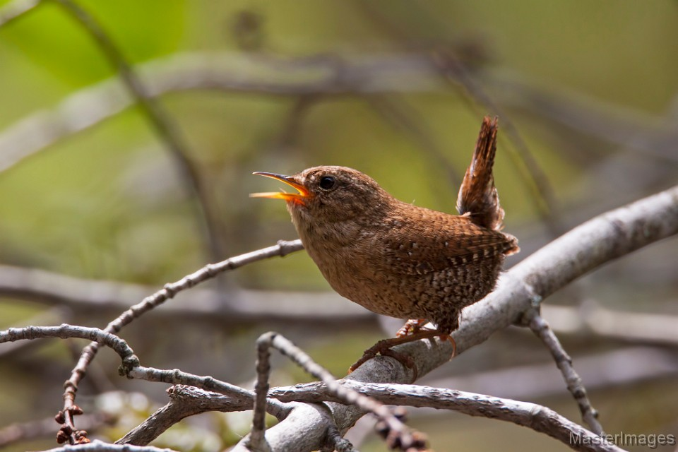 I love listening to the long, complex song of Winter Wrens! Image courtesy of www.masterimages.org.