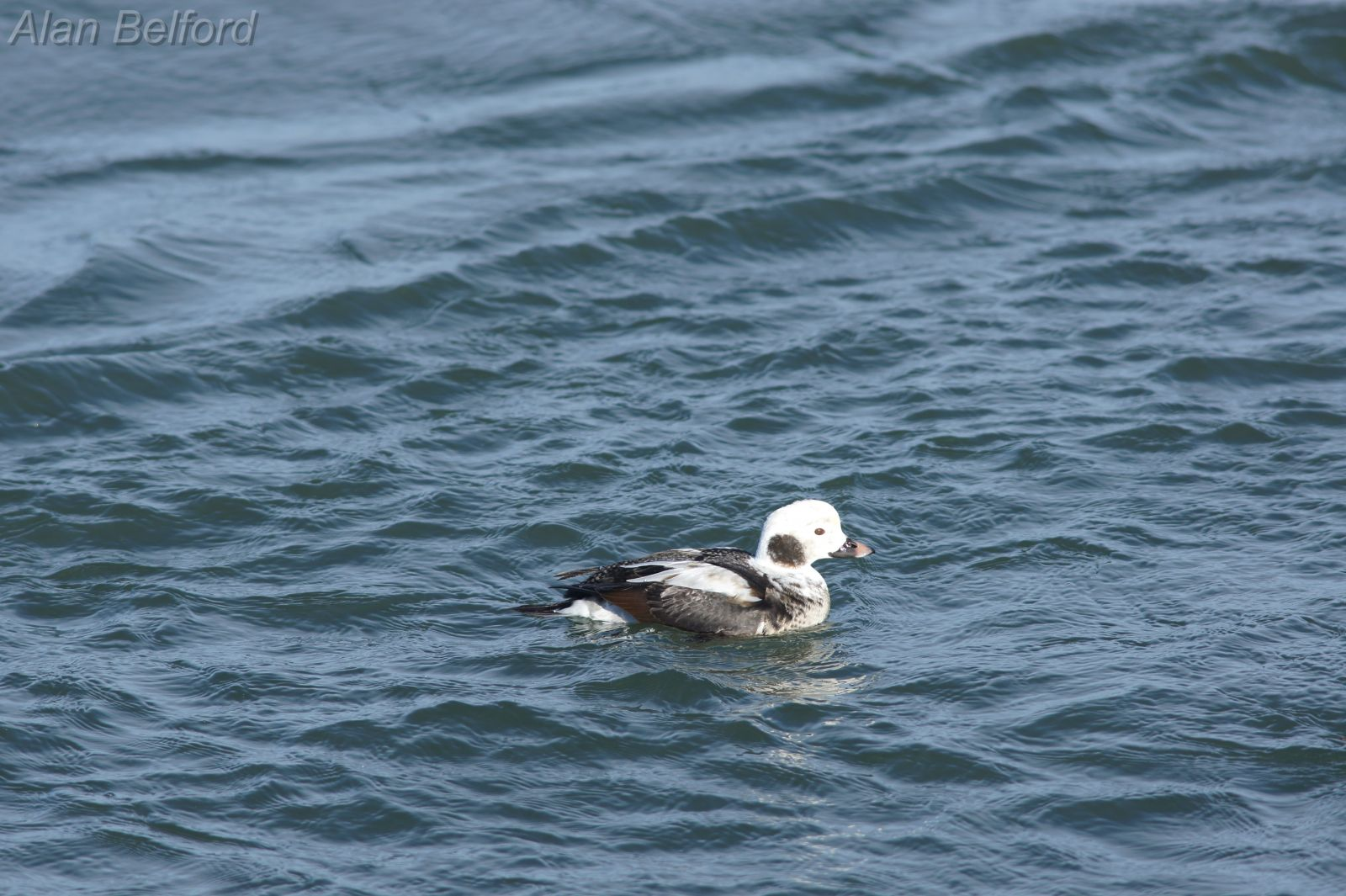 Uncommon species like Long-tailed Ducks can also be found during fall migration.