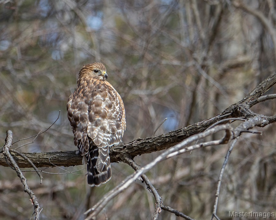 A variety of raptors can be found migrating during the fall, including Red-shouldered Hawks. Image courtesy of MasterImages.org.