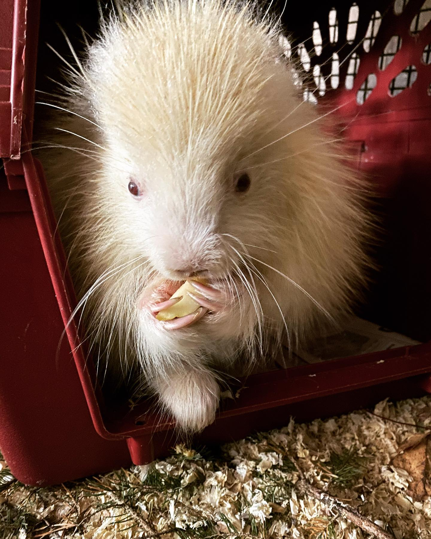 A close-up of an albino porcupine eating. Image courtesy Leah Valerio.