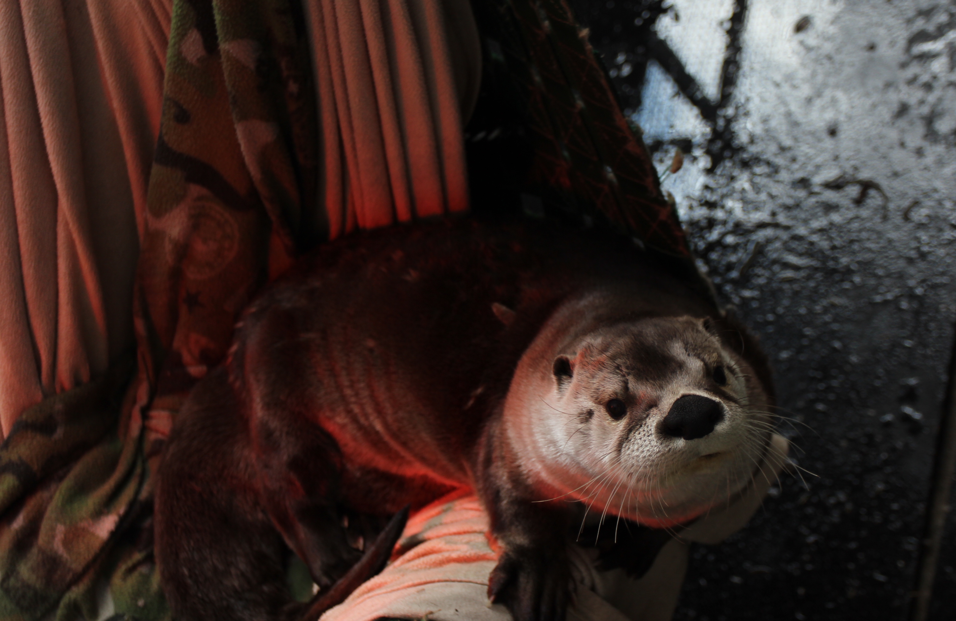 A closeup of Louie the otter reclining under a heat lamp in an enclosure at The Wild Center.