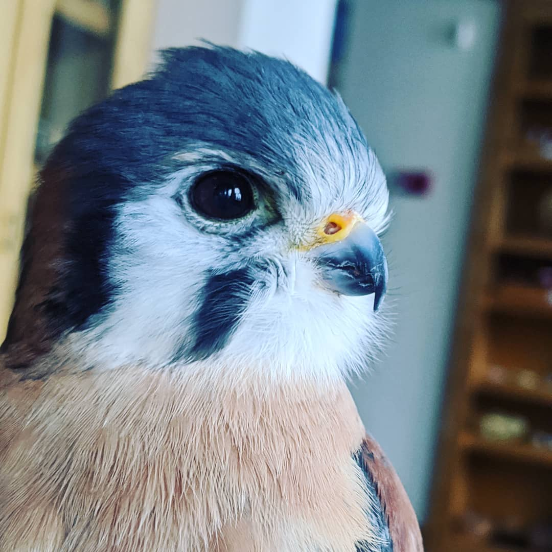 Close-up of the head of a male American Kestrel at The Wild Center. Image courtesy Leah Valerio.