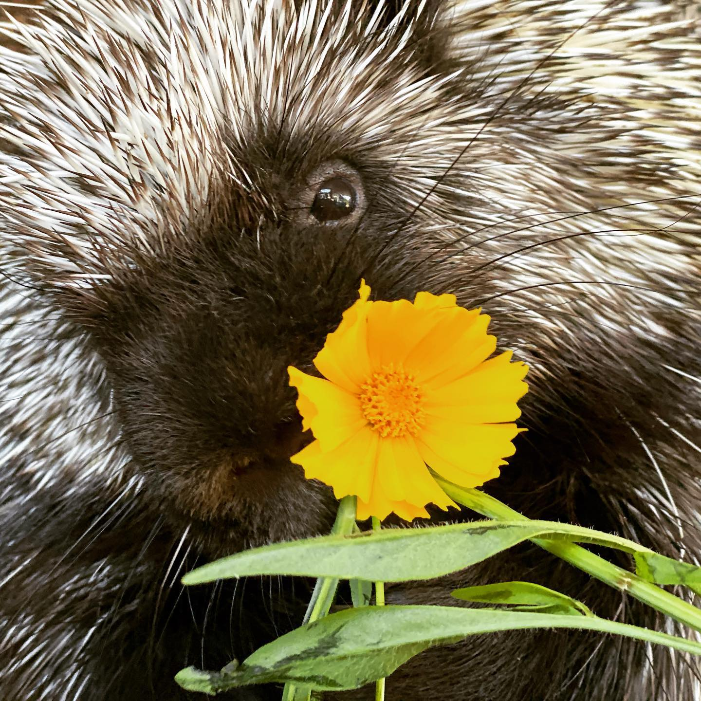 Extreme close-up of Stickley the porcupine eating a flowering plant. Image courtesy Leah Valerio.