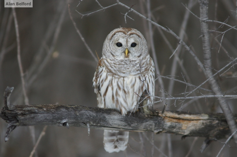A family of Barred Owls offered an exciting end to the day!