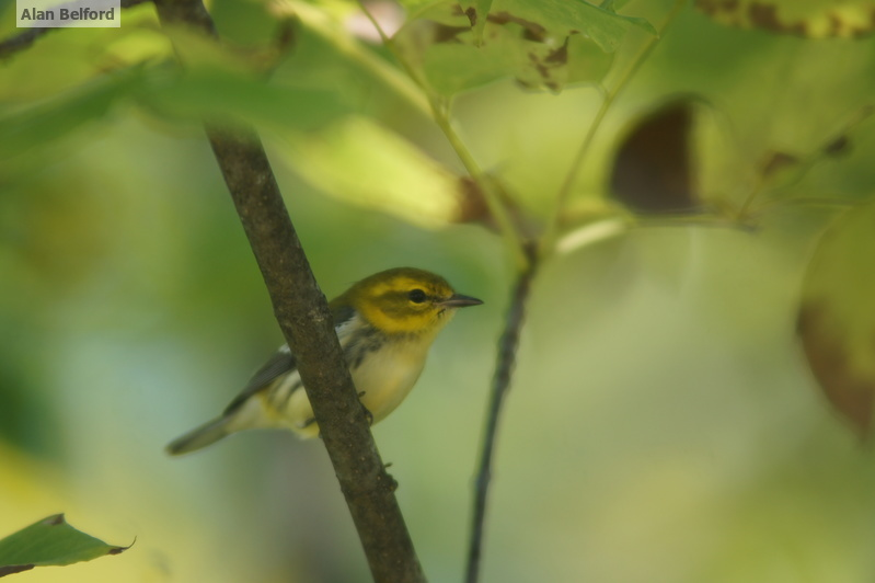 Late summer and early fall paddles will still feature birds like this Black-throated Green Warbler.