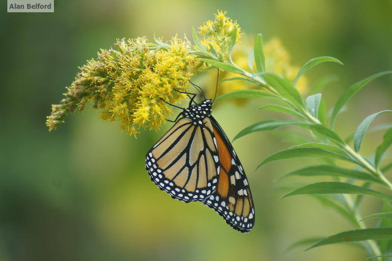 There have been good numbers of monarchs around this summer and fall.