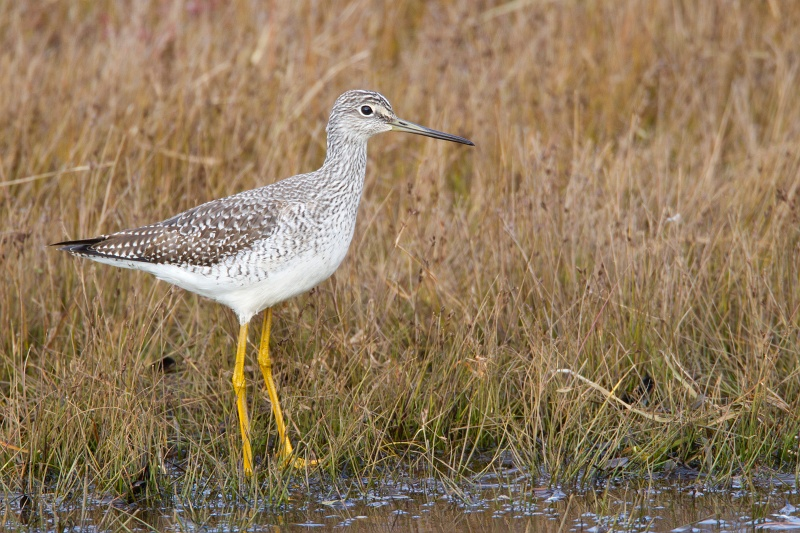 It was nice to find two Greater Yellowlegs at the put-in. Photo courtesy of www.masterimagees.org.