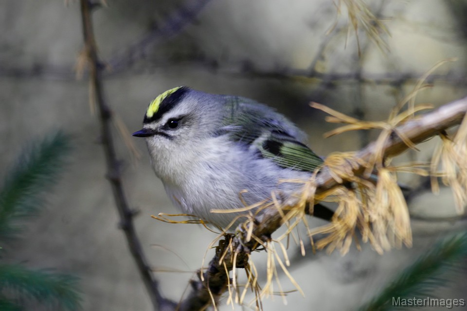 I found Golden-crowned Kinglets throughout the paddle. Photo courtesy of www.masterimages.org.