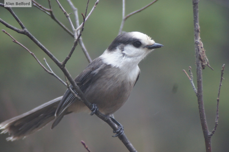 A few Gray Jays came in to check out the chatter of Black-capped Chickadees and other species.
